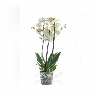 White Orchid big